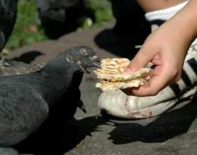 Чим годувати голубів? фото