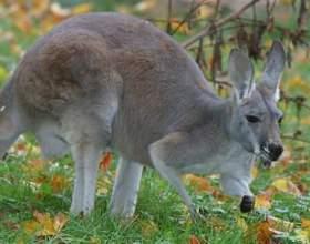 Що їдять кенгуру? фото