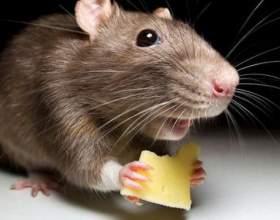 Що їдять миші? фото