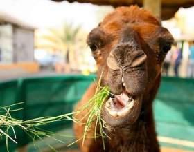 Що їсть верблюд? фото
