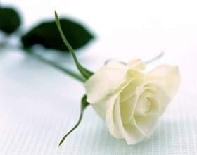 Що означає біла троянда? фото