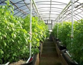 Що вирощувати в теплиці? фото