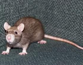 До чого сниться велика щур? фото
