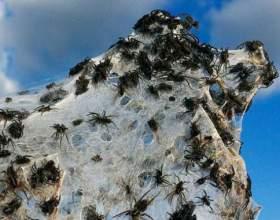 До чого сниться багато павуків? фото