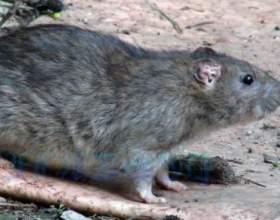 До чого сниться сірий щур? фото