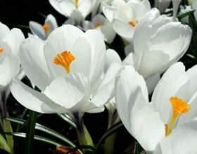 До чого сняться білі квіти? фото