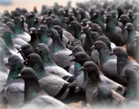 До чого сняться голуби? фото