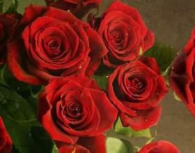 До чого сняться червоні троянди? фото