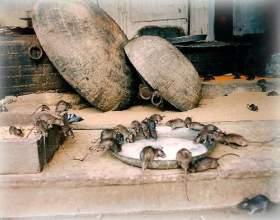 До чого сняться пацюки? фото