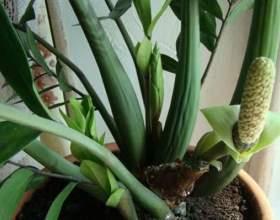 Як цвіте замиокулькас? фото
