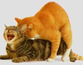 Як кішки спаровуються? фото