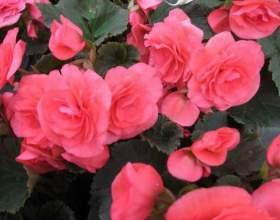 Як називається червона квітка? фото