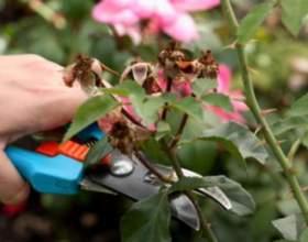 Як обрізати троянди? фото