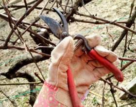Як обрізати виноград? фото