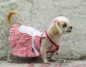 Як одягнути собаку? фото