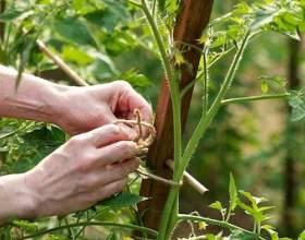 Як пасинкувати помідори? фото