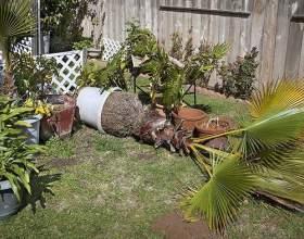 Як пересадити пальму? фото