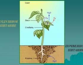 Як харчуються рослини? фото