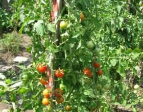 Як підв`язувати помідори? фото