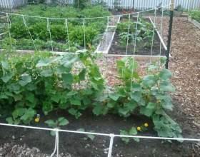 Як поливати огірки? фото
