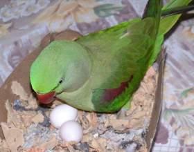 Як папуги висиджують яйця? фото