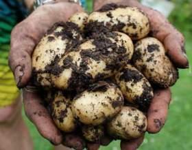 Як посадити картоплю? фото