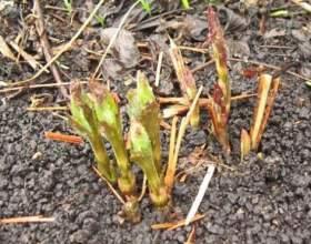 Як посадити клематис? фото