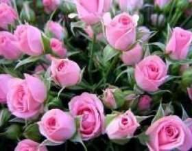 Як правильно посадити і доглядати за трояндами фото