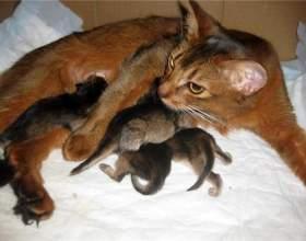 Як прийняти пологи у кішки? фото