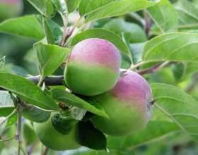 Як прищепити яблуню? фото