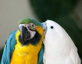 Як розмножуються папуги? фото