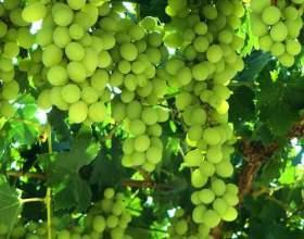 Як розмножити виноград? фото
