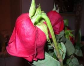 Як реанімувати троянди? фото