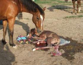 Як народжують коні? фото
