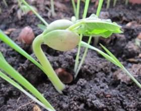 Як садити квасолю? фото