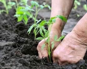Як садити помідори? фото