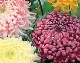 Як зберегти хризантеми взимку? фото