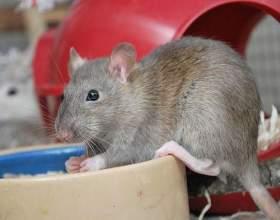 Як доглядати за пацюком? фото