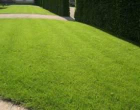 Як вибрати траву для газону фото