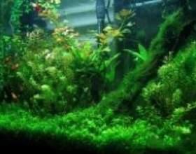 Як вибрати водорості для акваріума фото
