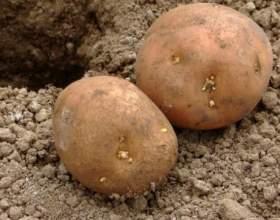 Як вирощувати картоплю? фото