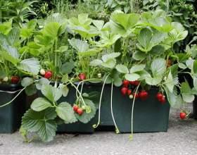 Як вирощувати полуницю? фото