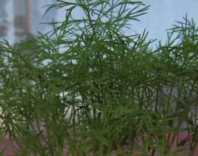 Як вирощувати на підвіконні? фото