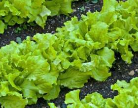 Як вирощувати салат? фото