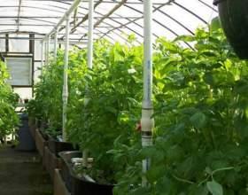 Як вирощувати в теплиці? фото