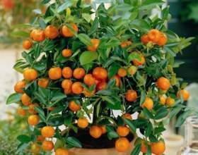 Як виростити апельсин? фото