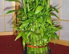 Як виростити бамбук? фото