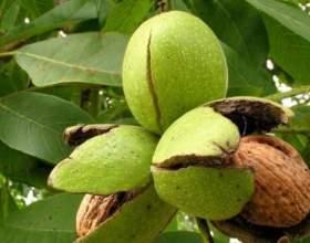 Як виростити волоський горіх? фото