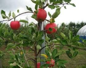 Як виростити яблуні? фото
