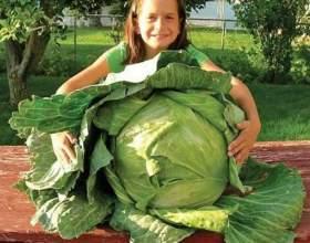 Як виростити капусту? фото